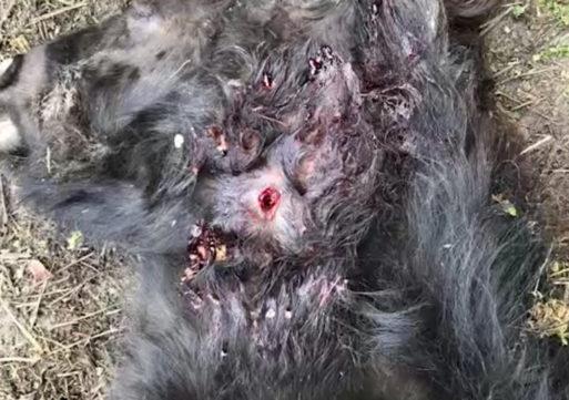 Broni, bracconieri sparano ed uccidono un pony. La rabbia dei cittadini